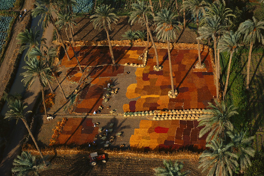 Drying dates in a palm grove south of Cairo, Nile valley, Egypt.
