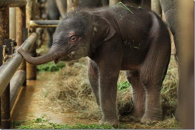 Elefantul nou-nascut in gradina zoologica din Berlin